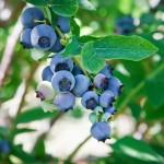 Blueberries on Bush 2 150x150