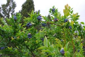 ripe 2